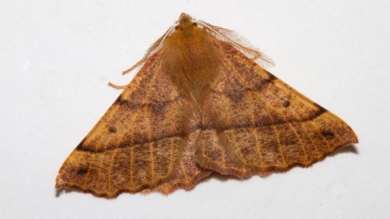 A brown moth with feathered edge wings