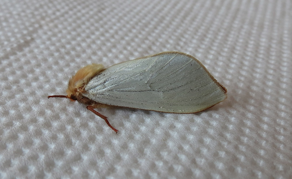 A Ghost Moth with white wings