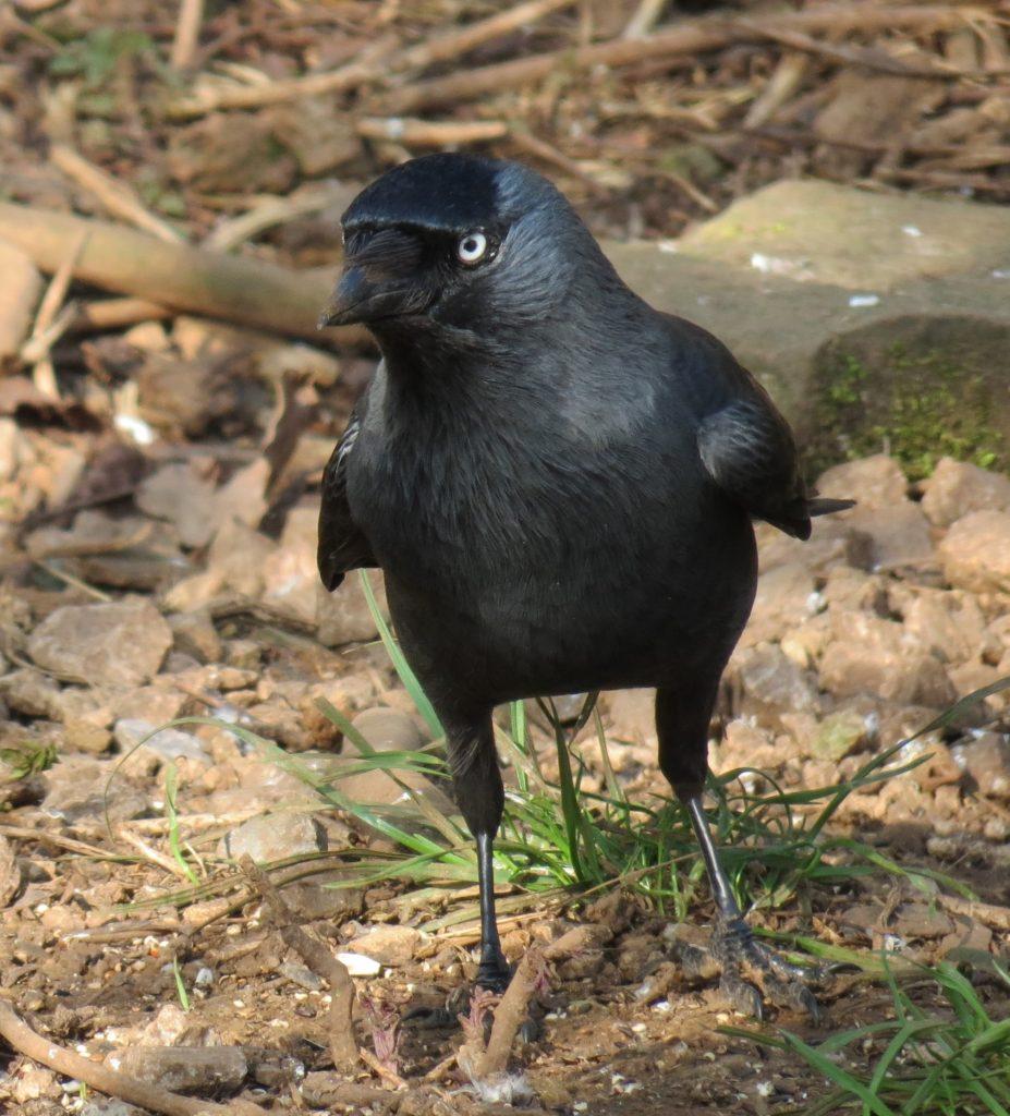 A Jackdaw Corvid