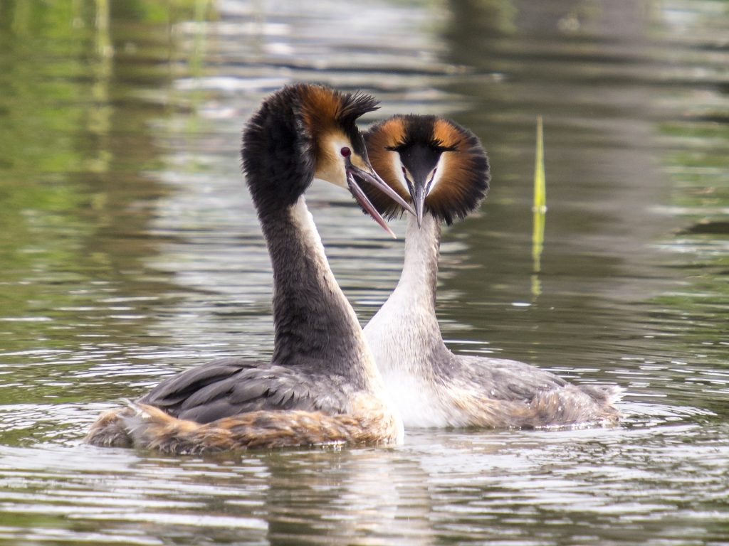 Great crested grebe display